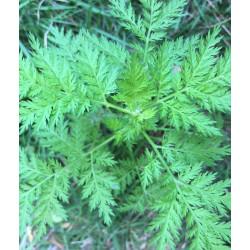 Sladki pelin čaj (Artemisia...